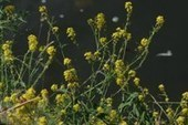 Rapid evolution aids spread of exotic plant species – KU Leuven | Réseau Tela Botanica | Scoop.it