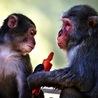 Animals Bonobos