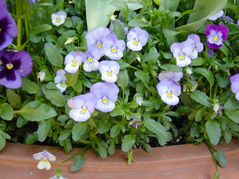 Nursery School: Pansies Are an Engaging Centerpiece for Your Container Garden | Container Gardening | Scoop.it