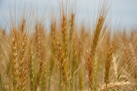 Syria's wheat shortage deepens | Wheat World | Scoop.it