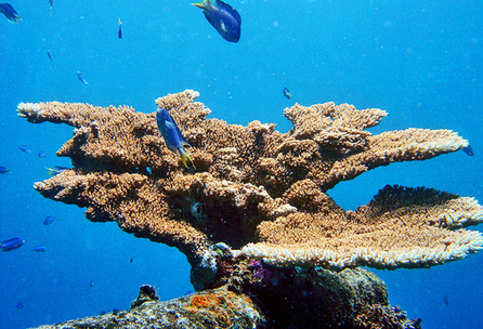 Futurity.org – Without calcium, coral reefs may stop growing | Amocean OceanScoops | Scoop.it