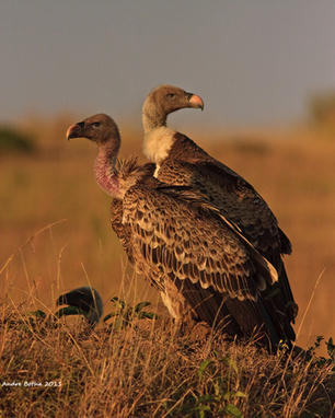 600 vultures killed by elephant poachers in Namibia | Wildlife Trafficking: Who Does it? Allows it? | Scoop.it