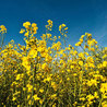 Grain du Coteau : News ( corn maize ethanol DDG soybean soymeal wheat livestock beef pigs canadian dollar)