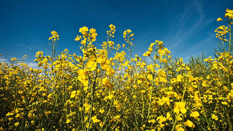 The ban on neonicotinoid seed treatments is costing EU farmers more than £500m in lost revenue each year, a report has found. | Grain du Coteau : News ( corn maize ethanol DDG soybean soymeal wheat livestock beef pigs canadian dollar) | Scoop.it