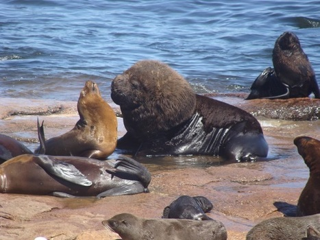 Human hunting has turned sea lions and fur seals into 'super-predators' | Oceans and Wildlife | Scoop.it