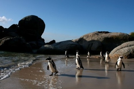 Penguin Invasion: South African Town Is Fed-up with Stink and Braying of Endangered Birds | BROTES DE NATURALEZA | Scoop.it