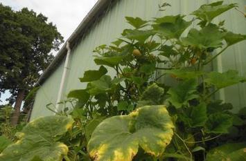 Végétaliser les murs avec des plantes comestibles - Que Faire à Paris? | biodiversité en milieu urbain | Scoop.it