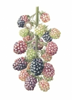 Artwork: Blackberries Giclée print - Open House Art | Art - Crafts - Design | Scoop.it