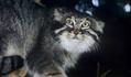 Préserver les chats sauvages sibériens | Touche pas ma planète ! | Scoop.it