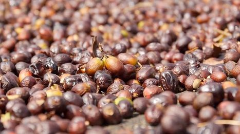 How Does Your Coffee Grow? - Organic Connections | Searching for Safe Foods | Scoop.it