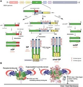 The Secret Life of Viral Entry Glycoproteins | Virology News | Scoop.it