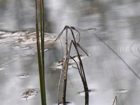 Création de mares pour amphibiens et libellules | EntomoNews | Scoop.it