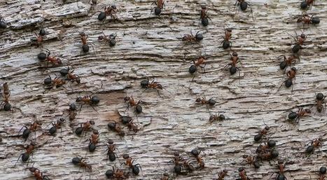Les fourmis cherchent la nourriture aussi efficacement qu'un algorithme de Google   Slate   ma curation2web   Scoop.it