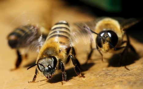 Gardeners urged to let ivy flourish to save bees - Telegraph.co.uk | Community Gardening | Scoop.it
