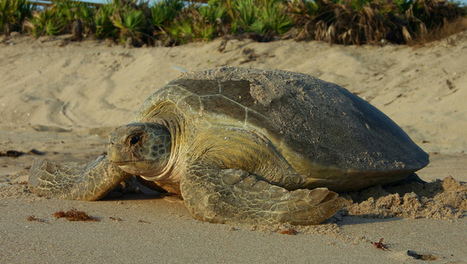 How to enjoy sea turtles without harming them | IELTS, ESP, EAP and CALL | Scoop.it
