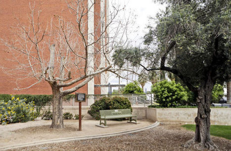 UA's moon tree struggles in our dry climate| Arizona Daily Star | CALS in the News | Scoop.it