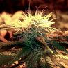 Growing MMj