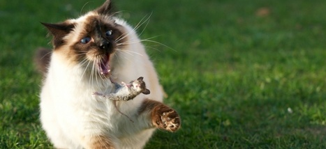 Comment les souris se sont habituées aux chats (et inversement) - Slate.fr   CaniCatNews-actualité   Scoop.it