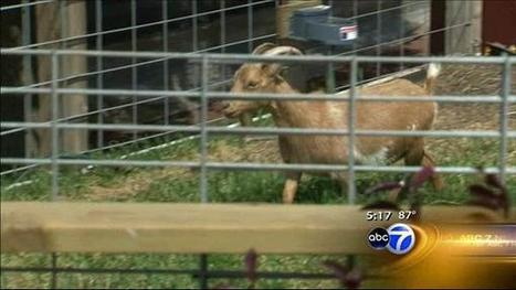 Goats graze on farm family's 'green' roof - ABC7Chicago.com | Growing Food | Scoop.it