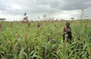 Vitamin A-rich millet to be developed by researchers | Agricultural Biodiversity | Scoop.it