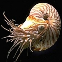 The Top 10 Oldest Living Things on Earth ~ #Nautilus  cephalopod | Rescue our Ocean's & it's species from Man's Pollution! | Scoop.it