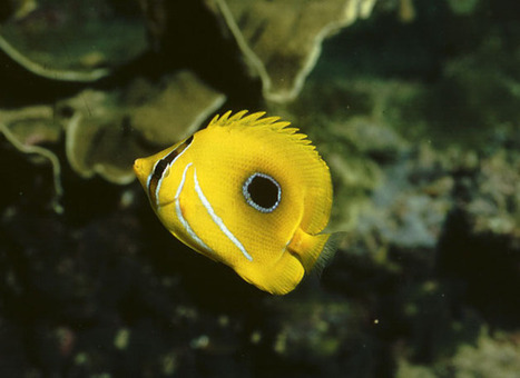 Dazzling or deceptive? The markings of coral reef fish - The Conversation | Amocean OceanScoops | Scoop.it