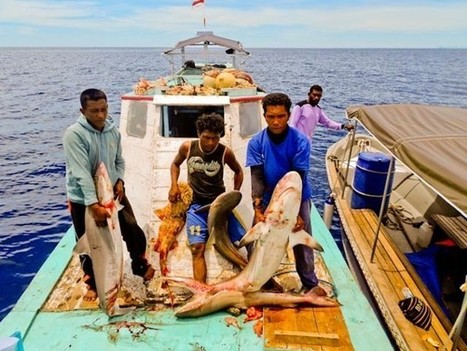 Indonesia struggles to combat shark poaching in protected areas | OUR OCEANS NEED US | Scoop.it