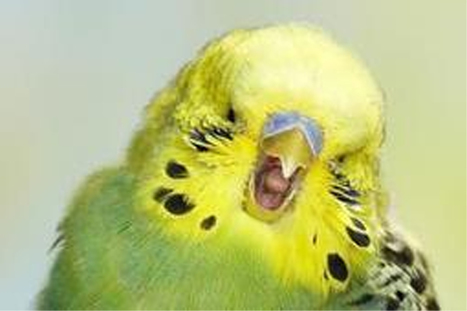 Empathetic budgies yawn when they see their peers do the same   Empathy and Animals   Scoop.it
