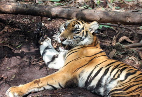 Dead tigers, dead people: logging by paper industry worsens human-tiger conflict in Sumatra | The Glory of the Garden | Scoop.it