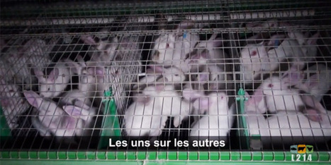 Les conditions exécrables des lapins d'élevage en France (+ vidéo) | Vegactu - végétarien, végétalien et végan | Scoop.it