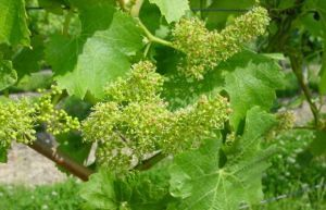 Vine family trees (by Jancis Robinson) | 'Winebanter' | Scoop.it