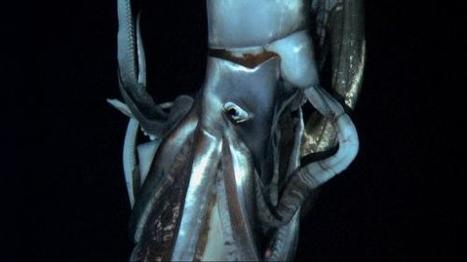 Giant squid filmed in Pacific depths, Japan scientists report | EduTech Chat | Scoop.it
