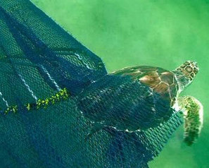 Reducing bycatch remains top issue, assures NOAA - FIS | Marine Conservation | Scoop.it