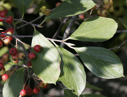 Aronia arbutifolia Red Chokeberry for Birds and Pollinators | Annie Haven | Haven Brand | Scoop.it