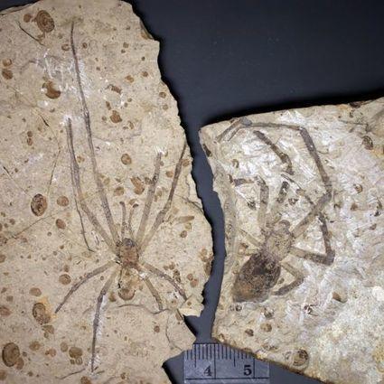 La plus grande araignée fossile a trouvé un mâle... et son nom | EntomoNews | Scoop.it