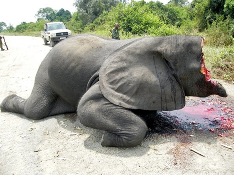 CHADS LAST ELEPHANTS - NUMBERS PLUNGE FROM 4,30...   Game Guides in Africa..   Scoop.it
