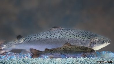 "BBC: ""GM salmon can breed with wild fish"" 