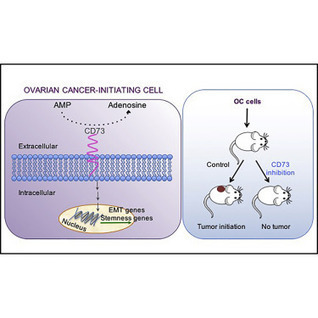 CD73 Regulates Stemness and Epithelial-Mesenchy