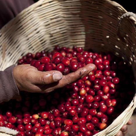 Guatemala declares national coffee emergency | Global education = global understanding | Scoop.it