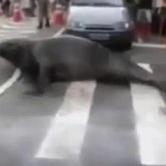 Prudent, l'éléphant de mer traverse sur le passage piéton (vidéo) | Mais n'importe quoi ! | Scoop.it