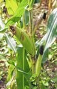 Drought may not necessarily benefit local corn farmers | Mt. Airy News | North Carolina Agriculture | Scoop.it