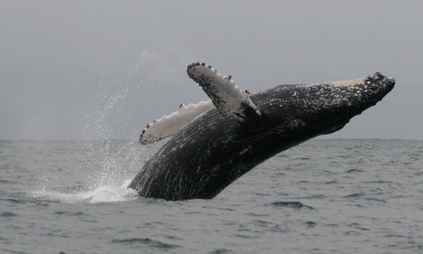 Whaling in the Antarctic: Japan's scientific program illegal | Geography in the classroom | Scoop.it