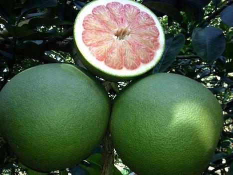 Kỹ thuật trồng bưởi da xanh cho năng xuất cao - chăm sóc cây trồng | tamdeptrai | Scoop.it