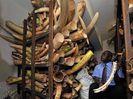 Illegal ivory trade funds al-Shabaab's terrorist attacks | Wildlife Trafficking: Who Does it? Allows it? | Scoop.it