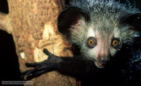 The Biomimicry Manual: What Can the Aye-Aye Teach Us About Echolocation? | Biomimicry | Scoop.it