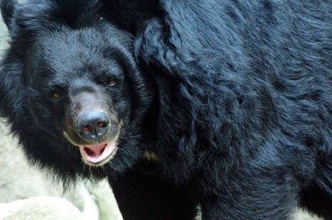 No, Bear Bile Cannot Prevent Type 1 Diabetes | diabetes and more | Scoop.it