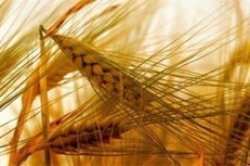 Russia intends to be stricter with GMO industry   The Barley Mow   Scoop.it