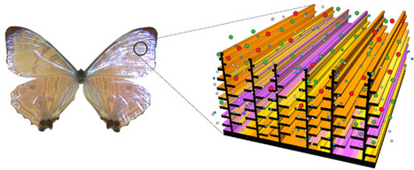 Butterfly Wings Inspire Better Sensors | Social Foraging | Scoop.it