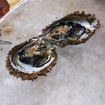 Electron Beam Zaps Oysters to Kill Bacteria : DNews | Aquaculture Products & Marketing Network | Scoop.it