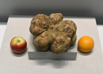La plus grosse truffe blanche au monde vendue 61.250 dollars à New York | The Blog's Revue by OlivierSC | Scoop.it